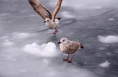 s AT DSC_6644 (Andrew JK Tan) Tags: ice japan hokkaido gulls icedrift