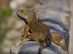 Green Iguana (Carl's Capture