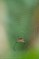 IMG_9091 copy (Kurt (OrionHerpAdventure.com)) Tags: spider web arachnid spinyorbweaver macracanthaarcuata