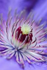A Beautiful Mind (Anna Kwa) Tags: macro art nature marina singapore purple clematis flowerdome gardenbythebay