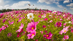 Kin Cosmos fields (Explored) (Shenanigans in Japan) Tags: blue sky flower field canon flickr sunny fisheye okinawa cosmos explored 815mm