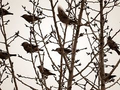 Sparrows (5of7) Tags: birds tree many sparrow sepia bw oddoneout flight perched fotocompetition fotocompetitionbronze challengewinner a3b a3bchallenge nine fav thechallengefactory 3waychallenge 4wins walk animal 6fav stuckonart blur motion exotic beautiful challengefactorywinner
