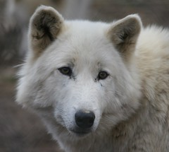 Golden Girl (eyriel) Tags: rescue nature beauty animal fence wolf wildlife sanctuary extinction