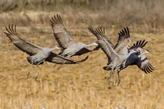 Sandhill Cranes (CraigGoodwin2) Tags: reservoir cranes sandhill skootenay