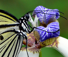 Lunch time (ToddP99z) Tags: macro nature closeup butterfly lepidoptera papillon mariposa vlinder perhonen