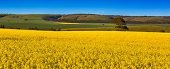Canola flower (James Yu Photography) Tags: australia southaustralia canolaflower kanmantoo