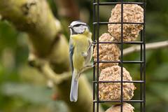 Bluey-4462 (WendyCoops224) Tags: blue bird canon eos tit fat small balls busy bbc perch springwatch 600d bbcspringwatch feeer 100400mml