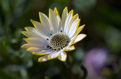 Nature in simplicity (Pensive glance) Tags: plant flower nature fleur plante ngc osteospermum wonderfulworldofflowers
