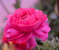 Rain drops & Rose (GNClicks) Tags: flower rain rose dallas drops spring nikon bloom blooms 18200mm arboterum