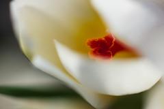 . (Norbert Krlik) Tags: white flower spring dof bokeh canonef100mmf28macrousm canoneos40d