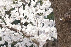 DSC02103 (macco) Tags: japan cherry blossom   sakura yokohama kanagawa   negishi