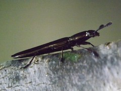 Bug (Dis da fi we) Tags: bug puntagorda toledodistrict belize toledo hickateebelize hickateepuntagorda jungle rainforest forest wildlife culture cottages hickatee