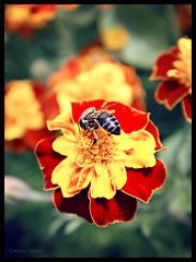 Abeja (Cristina Valero) Tags: flores primavera cristina flor alhambra granada abeja dragan hdr fotografa retoque valero