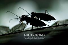Tiger Beetles (Cicindelinae) - DSC_5162 (nickybay) Tags: macro singapore tiger beetle mating riflerangeroad cicindelinae
