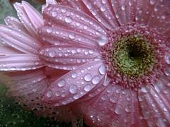 De rosa y bajo la lluvia .....por TeresalaLoba (TeresalaLoba) Tags: pink rain drops lluvia spain rosa gotas galicia gerbera gondomar asteraceae gerberajamesonii pingas teresalaloba margaritagrande reinodegondor ggerberaxhybrida