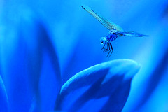 In dreams ..... (Bob__Gilmour) Tags: blue flower flying interesting dragonfly perspective landing pointofview diffusedlight mygearandme mygearandmepremium mygearandmebronze mygearandmesilver photographyforrecreation