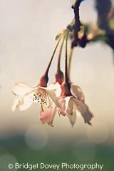 Cherry Flowers in Spring (Bridget Davey (www.bridgetdavey.com)) Tags: greatbritain pink flowers england flower sunshine rose canon garden cherry spring bokeh britain beds bedfordshire kirche sakura prunusavium leightonbuzzard fruehling kirsche japanesecherry cherryflower cherryblossum prunuscerasus kirschbluete prunusserrulata genusprunus canon7d