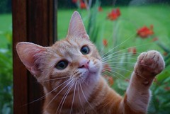 Emma Playing (ronamkelly) Tags: cat tabby orange animal pet pets animals closeup feline