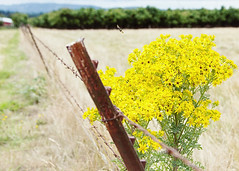 Cleared for Landing (Fresh Perspective with a Twist) Tags: gate barbed wire grassland yellow flowers trees farm