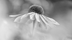 Love Alone (Anna Kwa) Tags: echinacea coneflower asteraceae bokeh annakwa nikon d750 afsvrmicronikkor105mmf28gifed my love alone always heart soul fade color spring flowers monochrome ononokomachi theinkdarkmoon odessarose macro dof gbb remembrance memories