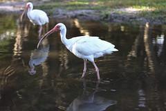 Ibis in Key Biscayne State Park, Florida (Xavier Desnoyers) Tags: ibis animal bird oiseau key biscayne state park florida reflect reflet water eau white floride usa