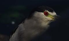 IMGP8489 (CatseyeGomez) Tags: reno nevada virginia lake bird heron blackcrowned night