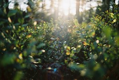 Analog blueberries (Niek...) Tags: analog color countryside blue nature sun sunset afternoon ae1 canon analogue fuji fujifilm superia woods forest outdoor