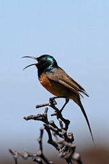 2015 10 16_Orange-breasted Sunbird-2.jpg (Jonnersace) Tags: orangebreastedsunbird sunbird capetown tablemountain bird canon