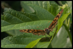 on departure (MathBIB) Tags: butterfly papillon insect insecte feuille leaf leaves vol flight green vert marron brown canon 70d 60mm macro