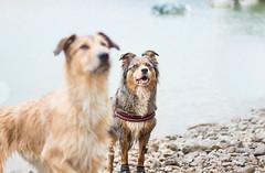 Kodi & Hyona (Maliss Cogrel) Tags: australien dog sheperd lac suisse randonne