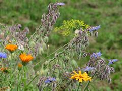 ckuchem-3083 (christine_kuchem) Tags: ackerrand bienenfreund bienenweide blumen blhstreifen feld felder klee landwirtschaft schmetterlingsbltler vogelschutz wiesenblume