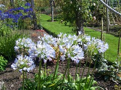 Agapanthus @ Inverewe Gardens, Wester Ross, Sep 2015 (allanmaciver) Tags: agapanthus flowers delicate lily white grow highalnds wester ross inverewe gardens national trust scotland highlands show display variety sunshine allanmaciver