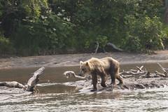 Brown bear (wietsej) Tags: kurilskoye lake kamchatka russia brown bear landscape nature wildlife sonyalphadslra900 sal70400g