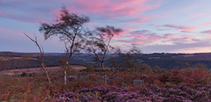 Over Owler Tor Birches (Paul Newcombe) Tags: silverbirch afterglow aftercolour sunset england landscape longexposure uk outdoor heather bloom summer august 2016 peakdistrict derbyshire canon1635f4l motion blurmovement trees moors moorland cokinzpro ndgrad filter