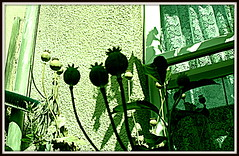 101  Backyard Poppy Field   HDR + A (Ant's little picture palace) Tags: poppy flowers seedpods