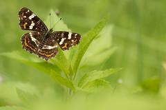 Carte géographique - Araschnia levana (regisfiacre) Tags: papillon butterfly schmetterling inscet insecte bugs macro canon 100mm nature meadow prairie woods bois forêt forest araschnia levana carte géographique green vert bokeh closeup