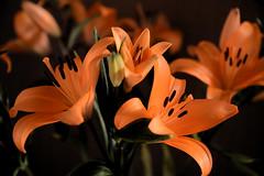 Orange (Ptolemy the Cat) Tags: orange lilies flowers blooms garden nature stamens petals nikond600 ngc