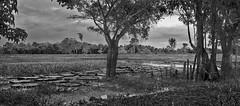 Cambixe panorama (Jamie B Ernstein) Tags: amazon amazonas nikon panorama trees lake pond monochrome blackandwhite brazil nature waterlilies