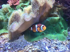 Clownfish (lucyadunn) Tags: lonely pebbles pebble coral sealifebrighton eastsussex brighton sealife reef findingnemo nemo clownfish