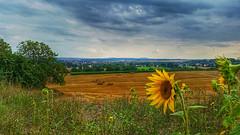 Backup sun (RainerSchuetz) Tags: sunflower agriculture harvest field stubblefield baleofstraw strawbales