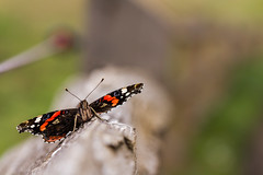 Red Admiral (Vanessa atalanta) (markhortonphotography) Tags: lepidoptery wings electricfence basking markhortonphotography vanessaatalanta lepidoptera insect surrey macro thatmacroguy wildlife nature invertebrate butterfly fence tilford redadmiral