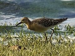 Ruff Philomachus pugnax (Penwith nature) Tags: drift cornwall bird wader ruff penwith nature migrant shorebird