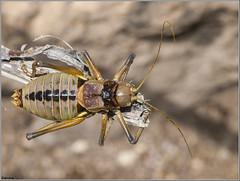 Chicharra de montaa 2. (josemph) Tags: olympus e3 sigma 105mm macro insectos ortpteros bradyporidae chicharrademontaa neocallicraniamiegii