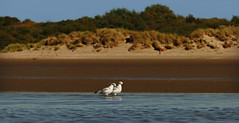 walking the beach (54f) Tags: meeuw landscape seagull coast kust nederland meeuwen sun water zee love walk walking wandeling strand