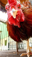 Eye of the Tiger for a Rooster (Eye of Brice Retailleau) Tags: angle animal animaladdiction animals colourful colours composition details earth extrieur fantasticwildlife fauna nature outdoor scenic travel texture rooster coq bird birds asia philippines oiseau java yogyakarta portrait red rouge macro flickrunitedaward