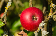 Its apple picking season. (andreasheinrich) Tags: nature orchard apple autumn september evening warm sunny colorful germany badenwrttemberg neckarsulm dahenfeld deutschland natur obstwiese apfel herbst abend sonnig farbenfroh nikond7000