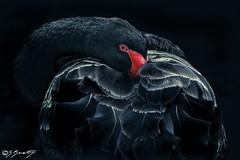 SGK_6131-Edit.jpg (skersting66) Tags: birds animals wildlife blackswan swan theme17
