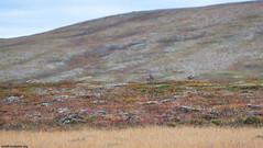 Porot (mattisj) Tags: artiodactyla cervidae elimet hirvielimet lapinlni lapinmaakunta luonnonilmit maisema mammalia niskkt pohjoislappi poro rangifertarandustarandus sorkkaelimet suomi utsjoki ruska