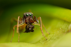 MMB_5108 (mmariomm) Tags: myrmarachne jumping spider salticidae ant mimic mimicry antmimicking china asia
