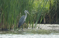 Grey heron (Ardea cinerea) (Steven Whitehead) Tags: heron wildlife wild nature feeding feathers water lake lakes river pond fishing fish birds canon canon1dxmk2 2016 500mm 500mmf4 500mmf4is canon500mm greyheron summerwatch